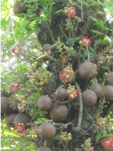 Cannonball Tree cannonballs