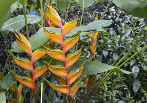蝎尾碧海'黄色舞者' (Heliconia bihai 'Yellow Dancer')