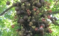 Cannonball Tree cannonballs and flowers